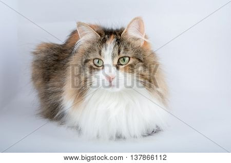 Long Hair domestic tortoiseshell cat on a plain background