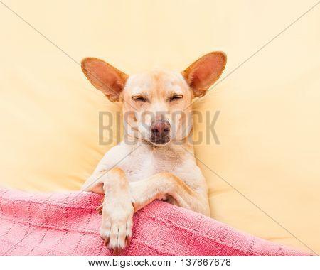 Sleeping Chihuahua Dog