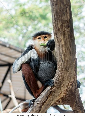 Monkey : Red-shanked Douc Langur or Pygathrix nemaeus