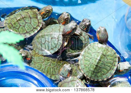 small turtles are sold in the market as pets.