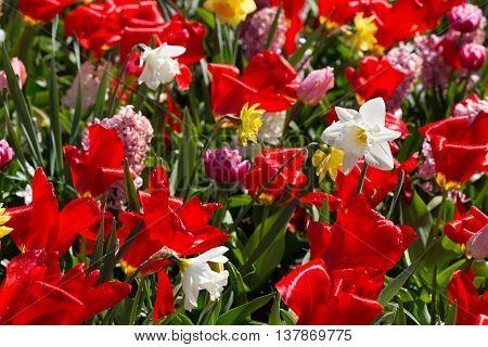 Flowers in the park Keukenhof in the Netherlands.