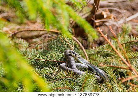 Grass snake basking in the sun at summer forest