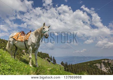 White horse on a mountain meadow in Romania