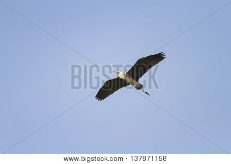 grey Heron flying on blue sky background widely spread its large wings