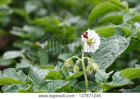 The larva Colorado beetle eats a potato flower
