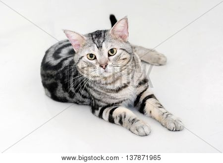 American Shorthair Cat Is Sitting And Looking Forward.