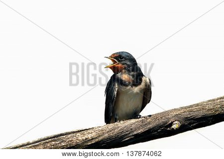 Young swallow sitting on a branch with open beak