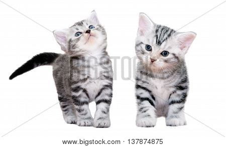 Cute American Shorthair Cat Kitten. Isolated On White Background With Copy Space