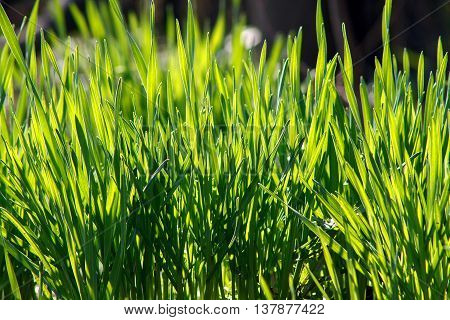 Young juicy green grass in the sun