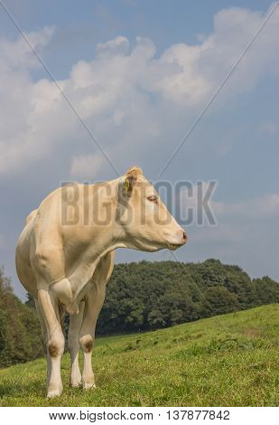 French cow Blonde d Aquitaine in a dutch meadow