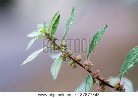 Pellitory-of-the-Wall (Parietaria judaica). Leaves and flowers of plant in the nettle family (Urticaceea) growing on a wall