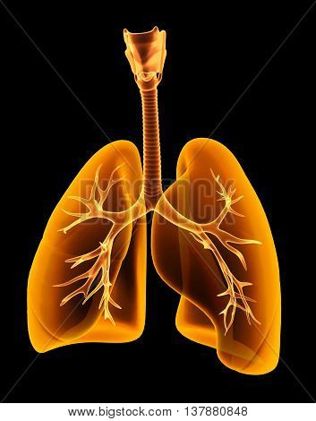 3D Illustration X-ray Transparent Lungs.