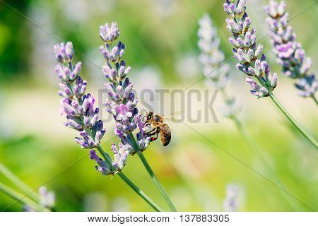 bezige bij op en lavander bloem in de zomer