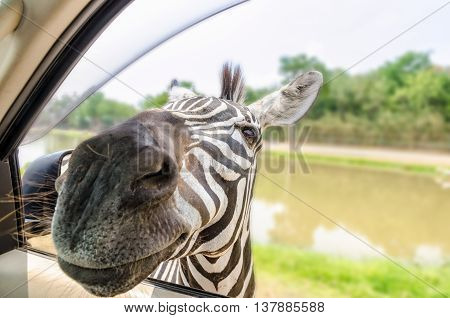 Plains Zebra Common Zebra or Equus Quagga filed a header into the car of tourists for food