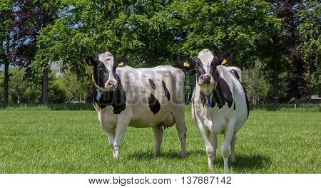 Black and white cows in a dutch green meadow