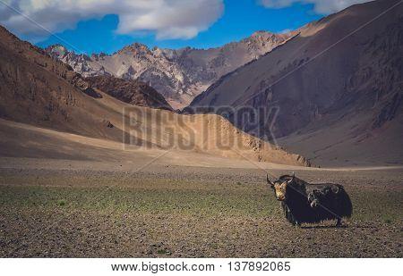 Huge black furry yak in a valley in Tibet