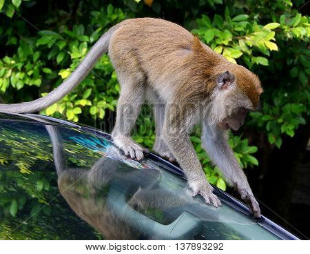 wild juvenile Long-tailed Macaque on car wildshield, Tang Kuan Hill, Songkhla, Thailand