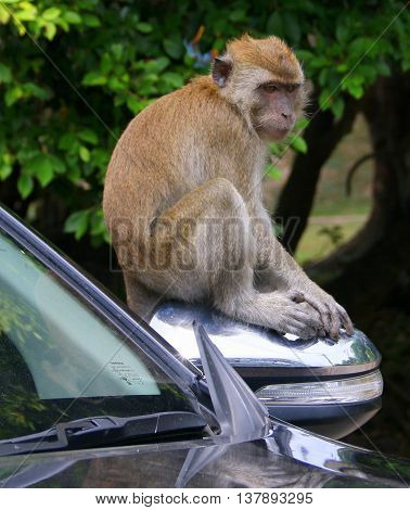 wild juvenile Long-tailed Macaque, sitting on a car side mirror, Tang Kuan Hill, Songkhla, Thailand