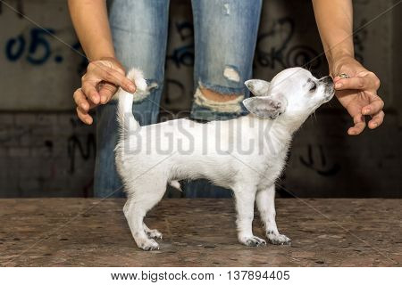 Chihuahua puppy training. girl feeding a puppy.