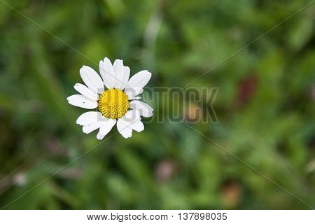 CLoseup of wild chamomile flower on blurred background