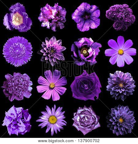 Collage Of Natural And Surreal Violet Flowers 16 In 1: Peony, Dahlia, Primula, Aster, Daisy, Rose, G