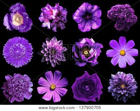 Collage Of Natural And Surreal Violet Flowers 12 In 1: Peony, Dahlia, Primula, Aster, Daisy, Rose, G