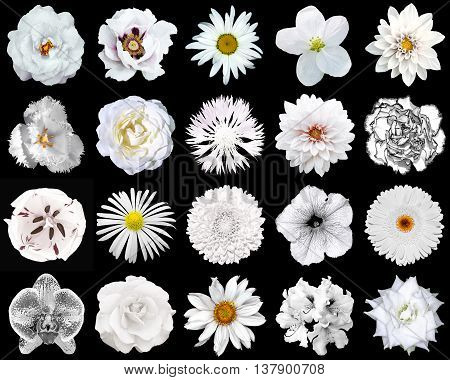 Collage Of Natural And Surreal White Flowers 20 In 1: Peony, Dahlia, Primula, Aster, Daisy, Rose, Ge