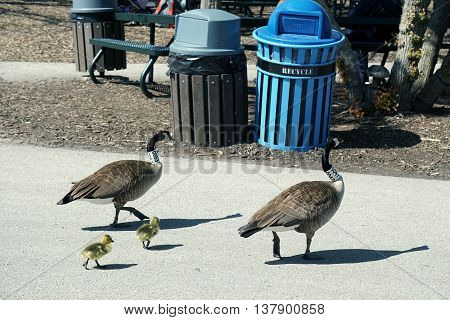 BROOKFIELD, ILLINOIS / UNITED STATES - APRIL 23, 2016: A family of Canada Geese (Branta canadensis), the parents wearing neck collars placed by researchers, goes for a walk.
