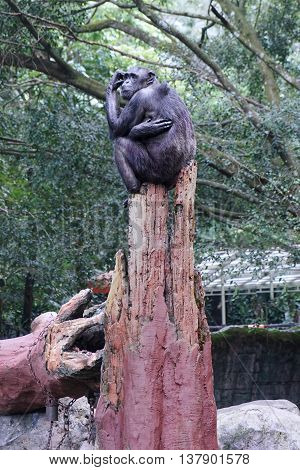 Black chimpanzee sitting on a tree at the zoo and looks thinking something