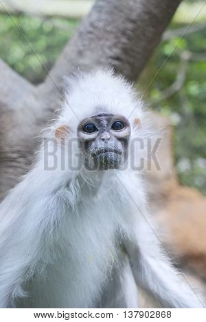 Image of endangered monkey with white fur at the conservation place