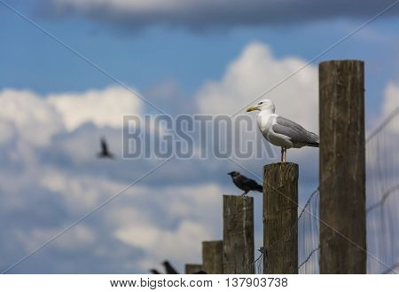 Seagull and raven sitting on a column with blue sky background