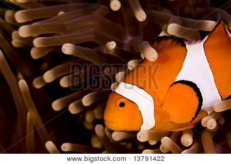 Clown Anemonefish Swimming Across Shot In Anemone