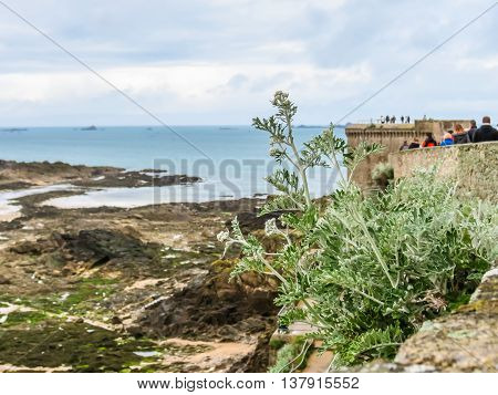 Wild plants on rocks in outflow and Saint Malo city walls. Saint Malo, Brittany, France. Selective focus
