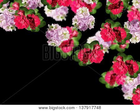 Beautiful floral background of delicate flowers isolated pelargonium