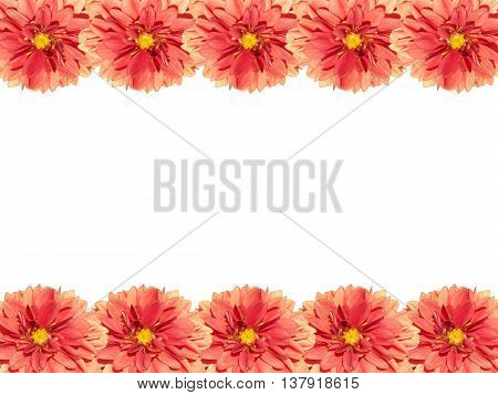 Beautiful floral pattern of red flower dahlia isolated