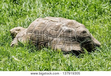Big turtle feeding in the green grass. Reptile theme. Beauty in nature. Tortoise in captivity. Animals welfare.