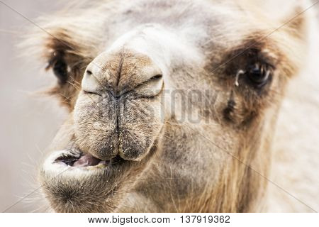 Bactrian camel - Camelus bactrianus - humorous closeup portrait. Animal scene. Beauty in nature.