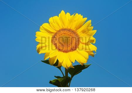 Yellow sunflowers against blue sky in summer