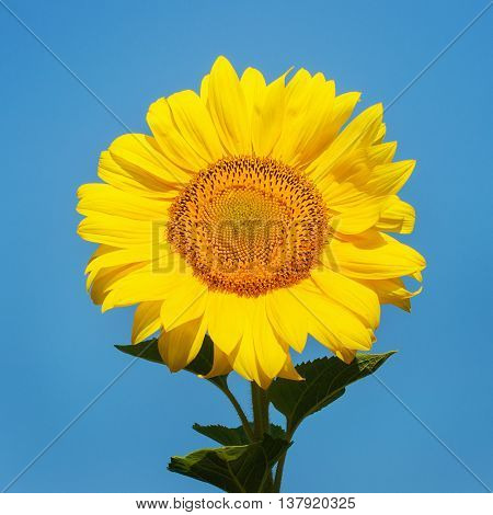 Beautiful sunflower against blue sky on field