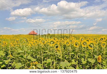 Sunflower farmland and farmhouse in eastern Europe