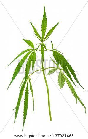 A young new growing cannabis (marijuana) plants