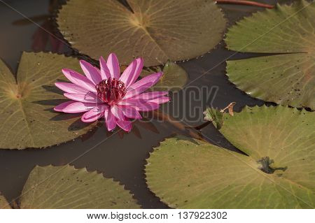 Water Lily And Lotus Flowers Growing In Ponds And Rivers.