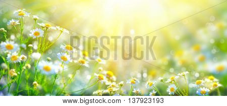 Chamomile flowers field wide background in sun light. Summer Daisies. Beautiful nature scene with bl