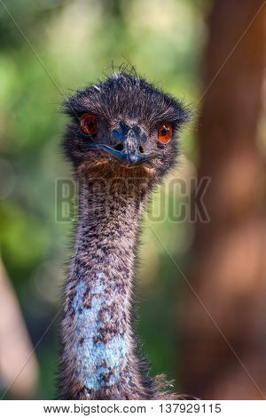 Emu Bird Staring