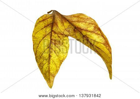 Two Conjoined  Autumn Colored Ieaves Isolated On White 4