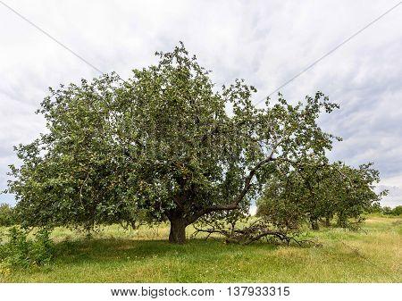 Big ripe apple tree in Vinatori village Moldova
