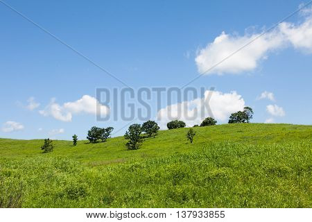 Beautiful summer landscape of meadows with trees. Detached trees on a green hill against the blue sky.