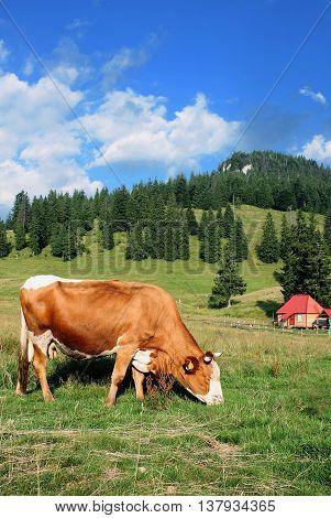 Cow grazing before an alpen landscape and a little hut