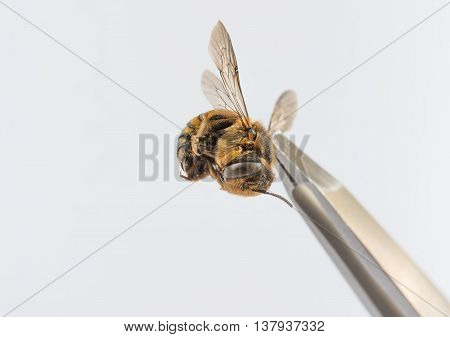 small wasp on whiter background and tweezers