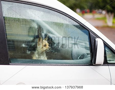 small dog in the car looking in side view mirror. Chihuahua is locked in the car alone. it's raining. miniature dog looks in wing mirror